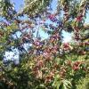 Yetişmiş meyveli bahçe, tarla ilan Satılık Arsa Tarla