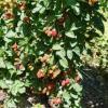 Yetişmiş meyveli bahçe, tarla Resim